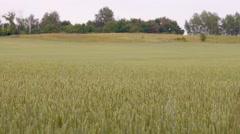 Field of rye Stock Footage