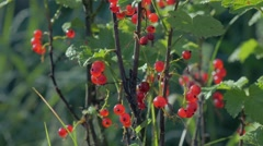 Mature bushes of red currants Stock Footage
