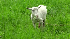 Depleted white goat with large udder chewing grass on a green meadow. Stock Footage