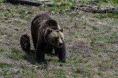 Grizzly baby walk beside mother at Yellowstone National park Stock Photos
