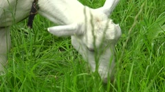 Rustic white goat eating grass on a green meadow. Stock Footage
