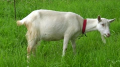Domestic white goat eating grass on a green meadow. Stock Footage