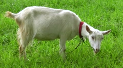 White goat grazing on a green meadow. Stock Footage