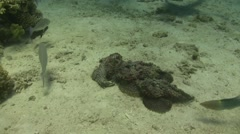 3 stonefish dancing Stock Footage