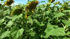 Field of Sunflowers (4K footage) Stock Footage