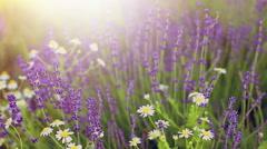 Blooming flowers field Stock Footage