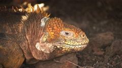 Extreme close up of a land iguana on north seymour island in the galapagos Stock Footage