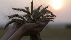Female hands with wheat spikelets. Hands with barley ears in the setting sun. Stock Footage
