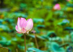 Lotus flower, Bali, Indonesia - stock photo