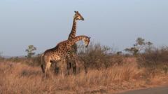 Giraffe eating Stock Footage