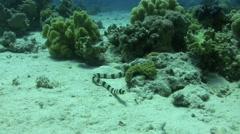 Banded snake eel Stock Footage