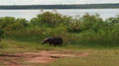 Hippopotamus on land Stock Footage