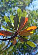 Colorful Banksia leaves back lit by sunlight Stock Photos