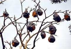Colony of sleeping grey headed flying foxes (fruit bats, Pteropus) Kuvituskuvat