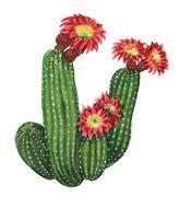 Blooming echinopsis cactus Stock Illustration