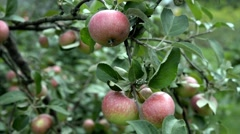Apple-tree branch with red apples Stock Footage