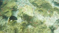 Yellowtail damsel at isla bartolome in the galapagos Stock Footage