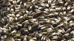 Swarm of bees on the frame, close up by Pakito. Stock Footage