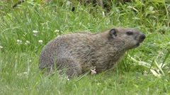 Groundhog (Marmota monax) Stock Footage