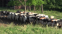 4K Herd Of Cows Swish Tails Feed Near Barnyard Stock Footage