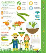 Gardening work, farming infographic. Peas. Graphic template. Stock Illustration