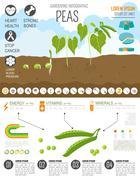 Gardening work, farming infographic. Peas. Graphic template. Stock Illustration