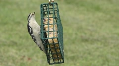 Male Downy Woodpecker (Picoides pubescens) Stock Footage