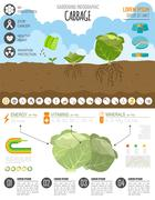 Gardening work, farming infographic. Cabbage. Graphic template. Flat style de Stock Illustration
