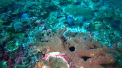 Reef octopus (Octopus Cyanea) hiding with damselfish biting it Stock Footage
