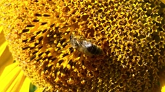 A Bee on a Sunflower (4K footage) Stock Footage