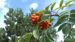 Closeup of orange Rowan berries or Mountain Ash tree with ripe berries Stock Footage