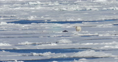 Polar bear standing near seal corps at Spitsbergen sea - stock footage