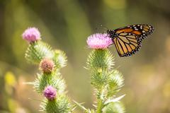Monarch butterfly - Danaus plexippus - stock photo