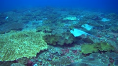 Blue-spotted stingrays (Dasyatis kuhlii) swimming over soft corals Stock Footage