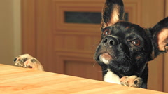 Funny young dog is jumping around the kitchen table and begging for food Stock Footage