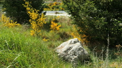 New Zealand scotch broom and boulder Stock Footage