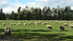 New Zealand sheep eating grass Stock Footage
