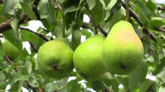 Pear fruits hanging on pear tree Stock Footage