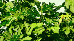 A common fig tree or Ficus carica with unripe fruits under large green leaves Stock Footage