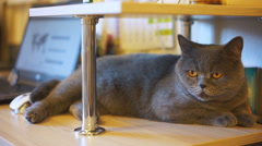 Sleepy British Shorthair cat lying on owner's table, love for animals, adoption Stock Footage