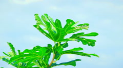 The highest branch of a common fig (Ficus carica) tree with bright green leav Stock Footage