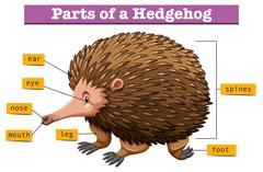 Diagram showing parts of hedgehog Stock Illustration