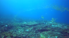 School of blue-lined snapper (Lutjanus kasmira) over coral reef Stock Footage