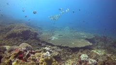 Huge acropora table coral with group of goatfishes Stock Footage