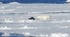 Polar bear lying near seal corps at Spitsbergen Sea - stock footage