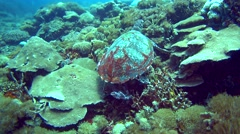 Hawksbill turtle (Eretmochelys imbricata) sitting on coral Stock Footage