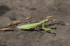 The female mantis religios. Predatory insects mantis Stock Photos