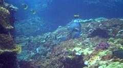 Titan triggerfish (Balistoides viridescens) looking for food Stock Footage