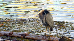 4K Great Blue Heron, Wild Bird in Nature, Wetland Wildlife Close Up Arkistovideo