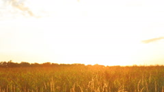 Man and woman holding hands wheat field into the beautiful sunset. Stock Footage